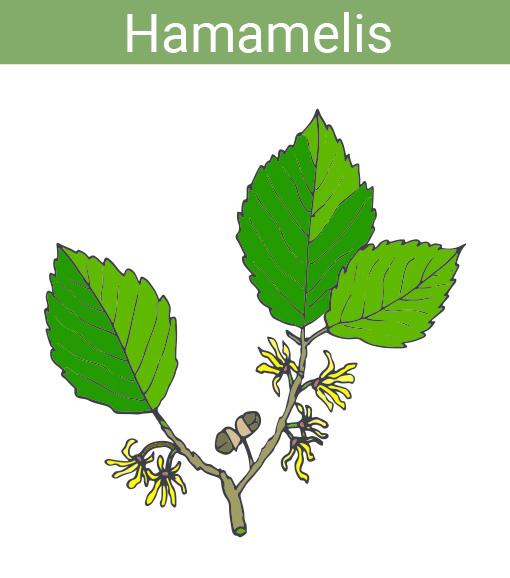 hamamelis planta.jpg