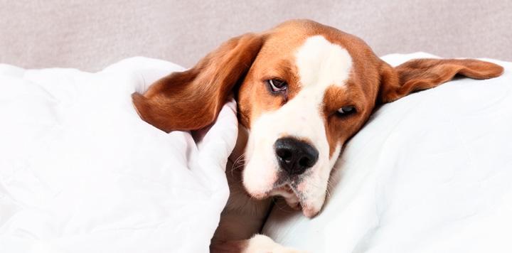 Síntomas neurológicos del moquillo canino