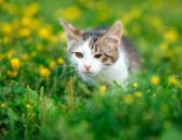 Gato con conjuntivitis