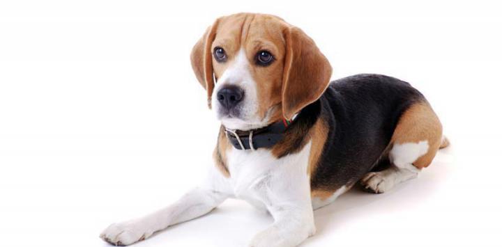 Perro de raza beagle