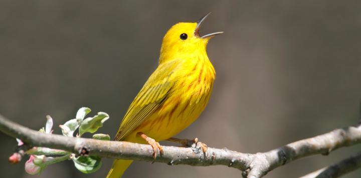 Resultado de imagen para imágenes de aves canoras