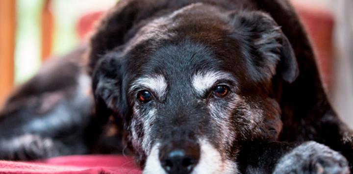 Perro con canas debido al estrés