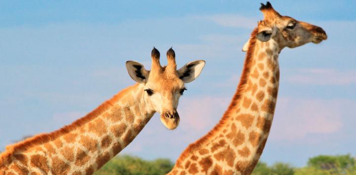 Las jirafas son ya una especie vulnerable a la extinción