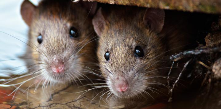 Un roedor australiano, primer mamífero extinguido por el cambio climático