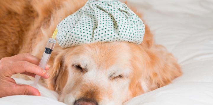 Vacuna para la gripe canina