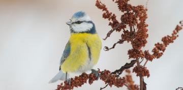 La malaria aviar es una afección que en la actualidad sigue afectando de forma directa a una gran cantidad de aves en el continente europeo, siendo mortal para aquellas que no han evolucionado para combatirla