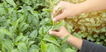 Un componente del té verde mejora los síntomas de los niños con TEAF
