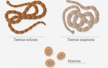 Teniosis anaemia. A betegség okai és mechanizmusa Teniasis jelek