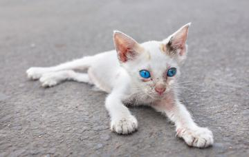 Anemia en los gatos