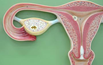 Anatomía del ovario