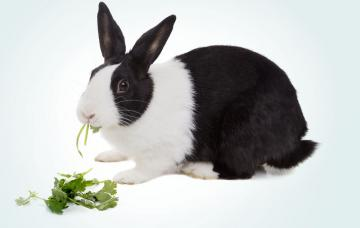 Conejo Dutch