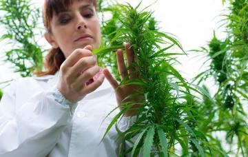 Usos y abusos de la marihuana