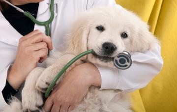 Cachorro de perro en brazos del veterinario