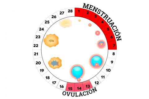 Qué ocurre en los ovarios durante el ciclo menstrual - Embarazo