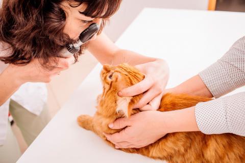 Veterinario diagnosticando conjuntivitis en un gato