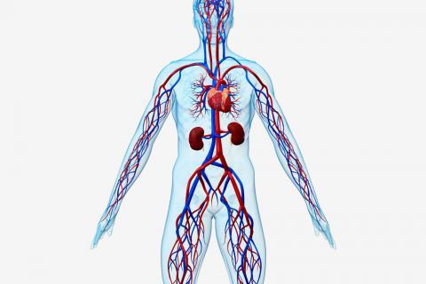 Enfermedades cardiovasculares, cómo se producen y factores de riesgo