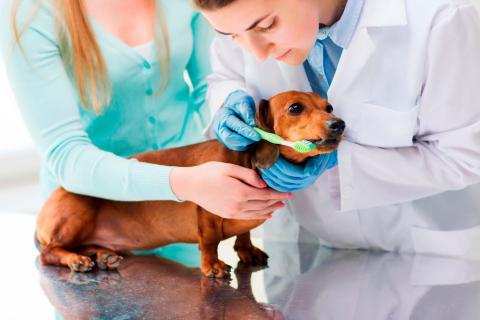 Una veterinaria enseña a la dueña de un teckel cómo limpiarle los dientes