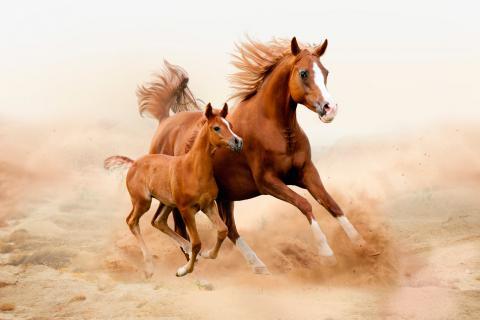 Salud y reproducción del caballo árabe