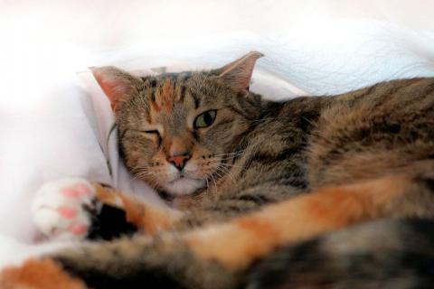 Gato con conjuntivitis tiene un ojo cerrado