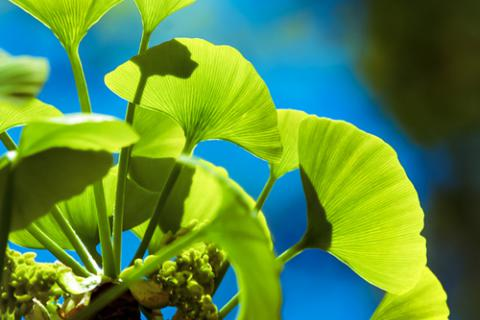 Ginkgo biloba, el árbol de la longevidad