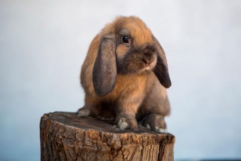 Características del conejo Belier