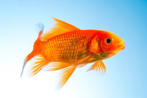 El pez rojo o carpa dorada un cl sico milenario en tu acuario for Cria de peces para consumo humano
