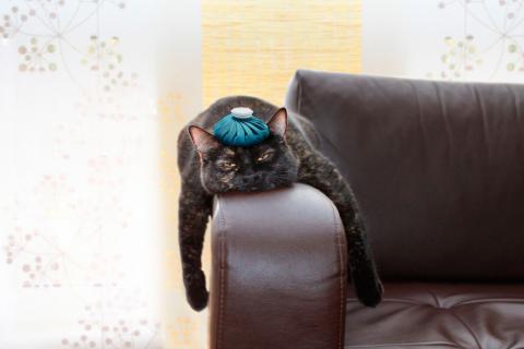 Mecanismos del estrés en los gatos