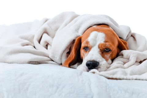 Gastroenteritis canina