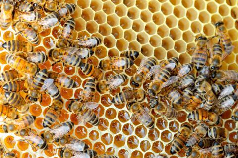 La jalea real: el secreto de la abeja reina