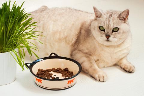 Qué es la obesidad felina y cuales son sus causas