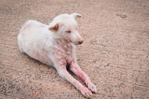 Sarna en el perro qu es c mo detectarla y prevenirla - Cuando se puede banar a un cachorro ...