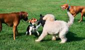 Un grupo de perros juega sobre el césped de un área de esparcimiento canina