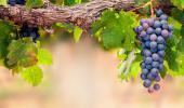 Racimo de uvas en la parra
