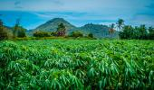 Campo de cultivo de yuca transgénica
