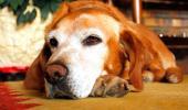 Perro con Alzhéimer tumbado