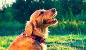 Condición corporal de la perra antes de la fecundación