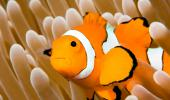 Pez payaso, conociendo al verdadero Nemo