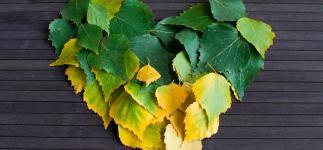 Virtudes del abedul: un aliado natural del riñón y el corazón