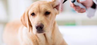 Otitis en perros y gatos, cómo puedes identificarla y curarla