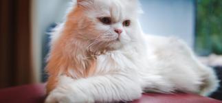 Gato persa, tranquilidad y elegancia felina en estado puro