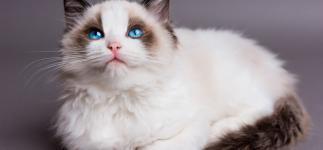 Ragdoll, el gato más tranquilo del mundo