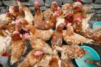 Foco de gripe aviar