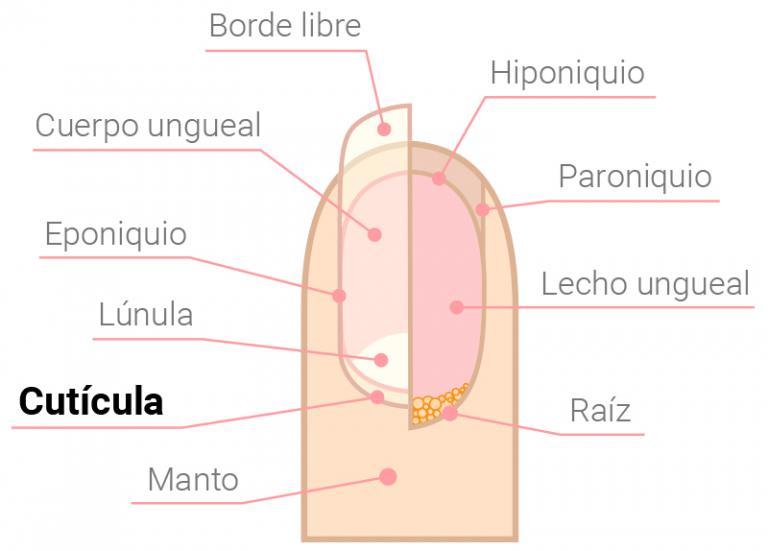 Infografía Anatomía de la uña