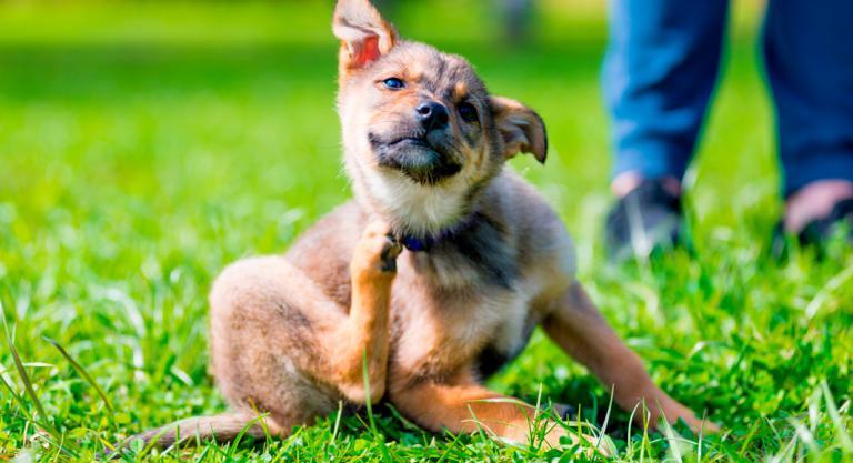 Síntomas de garrapatas en el perro