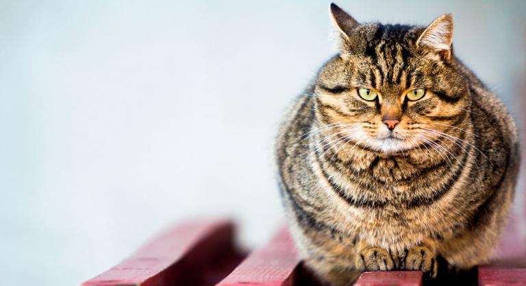 Gato con problemas de obesidad