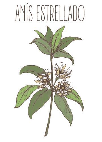 Ilustración de la planta del anís estrellado