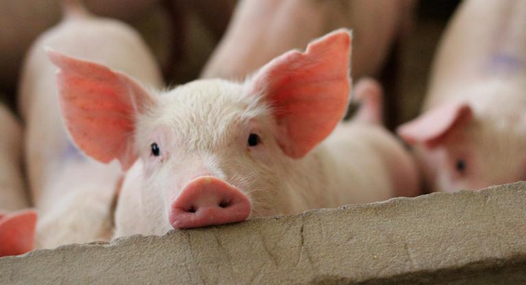 A qué animales nos parecemos más los humanos genéticamente?
