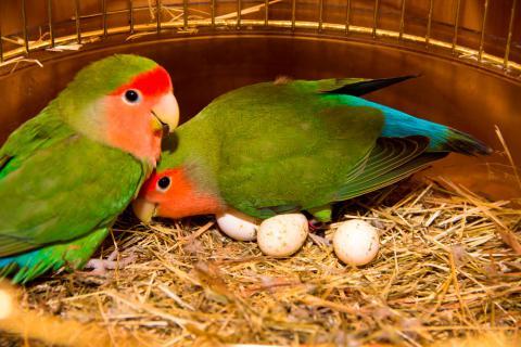 reproducción de los loros - los loros nacen de huevos
