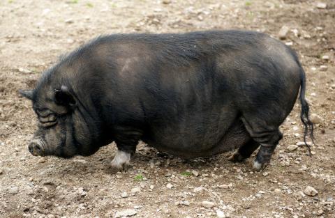 Alimentación e higiene del cerdo vietnamita