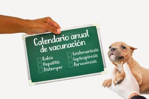 Calendario Vacunas Perros.Calendario De Vacunacion En El Cachorro Y El Perro Adulto
